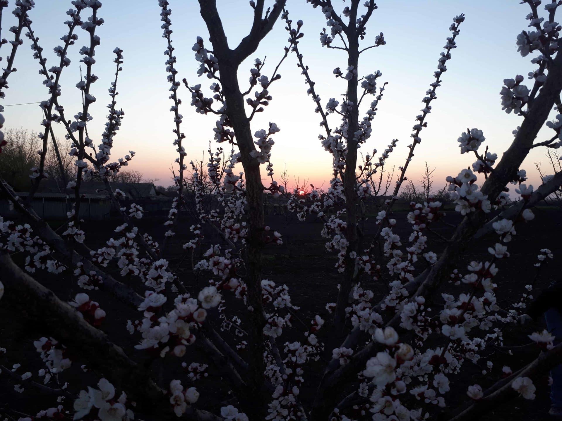 Hogyan védjük meg gyümölcsfáinkat a fagykártól? 7