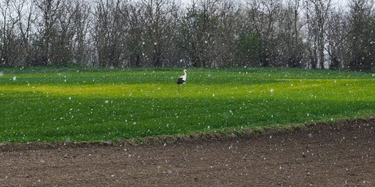 Csoportokban fagyoskodnak a gólyák a latyakban! Nagy lehet a pusztulás!😥(Képek)